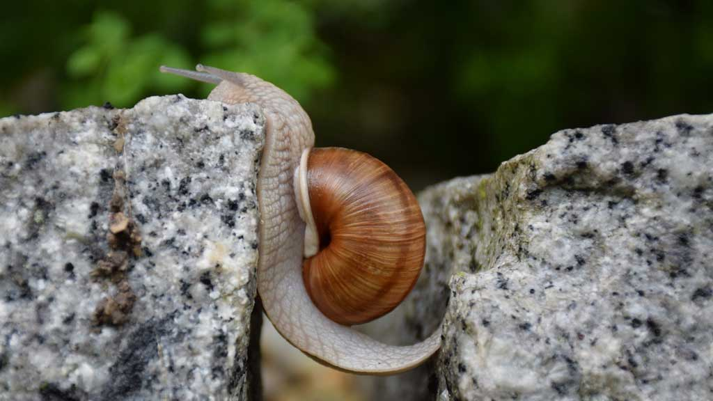 Snail overcoming an obstacle